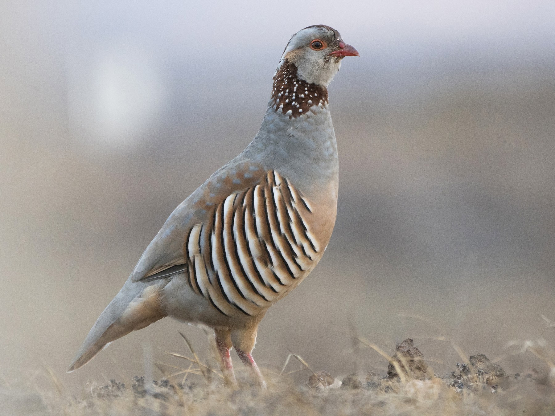 Barbary Partridge - Miguel Rouco