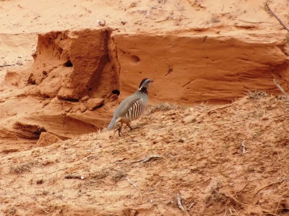 Barbary Partridge - Abdelwahab CHEDAD