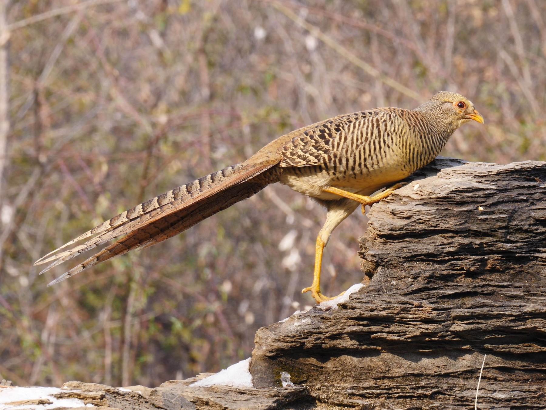 Golden Pheasant - Josep del Hoyo