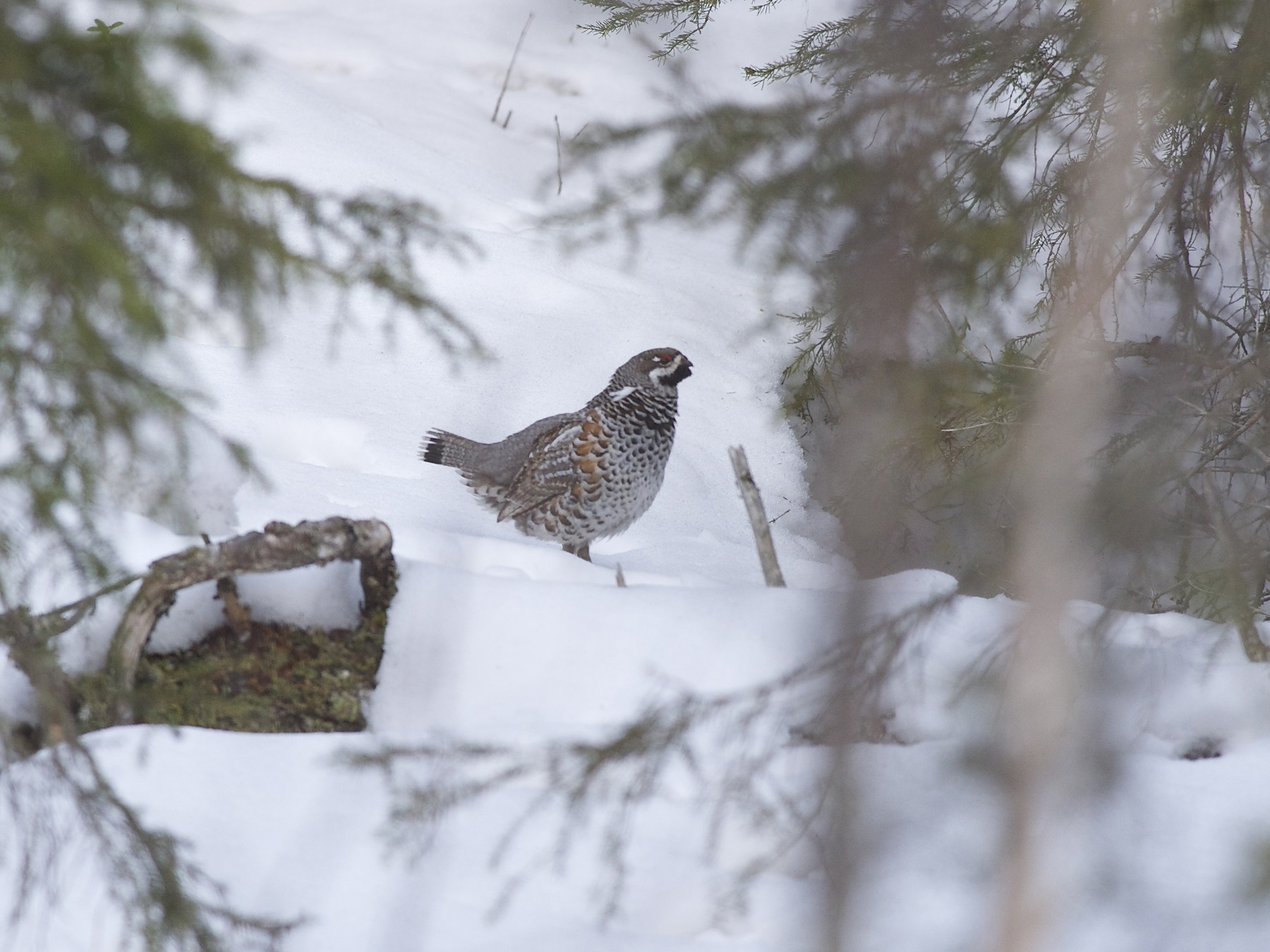 Hazel Grouse - Marc FASOL