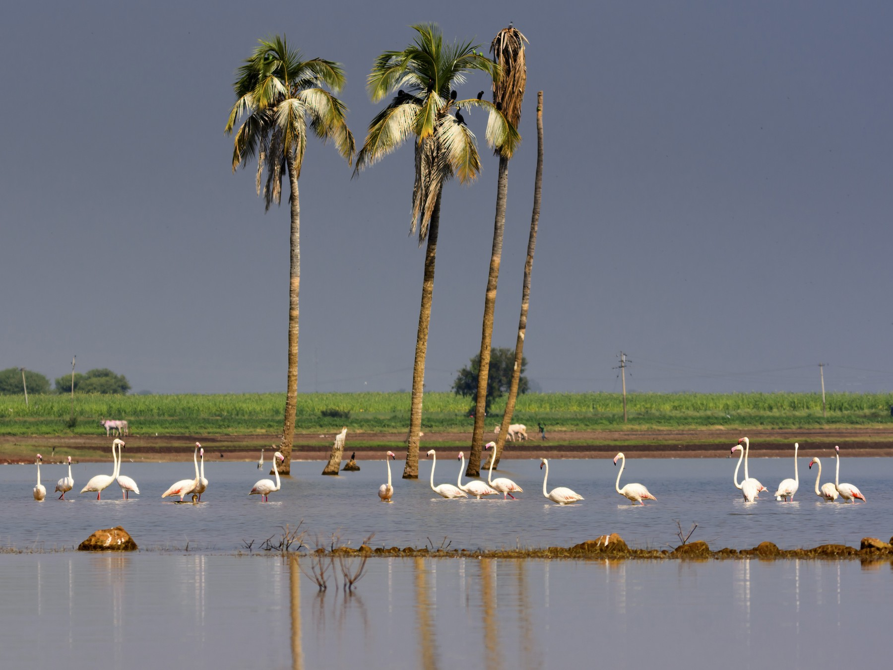 Greater Flamingo - Ramesh Desai