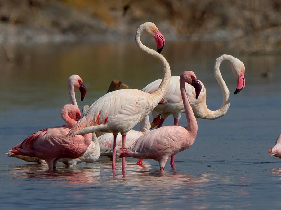 Greater Flamingo - Maurizio Ravasini