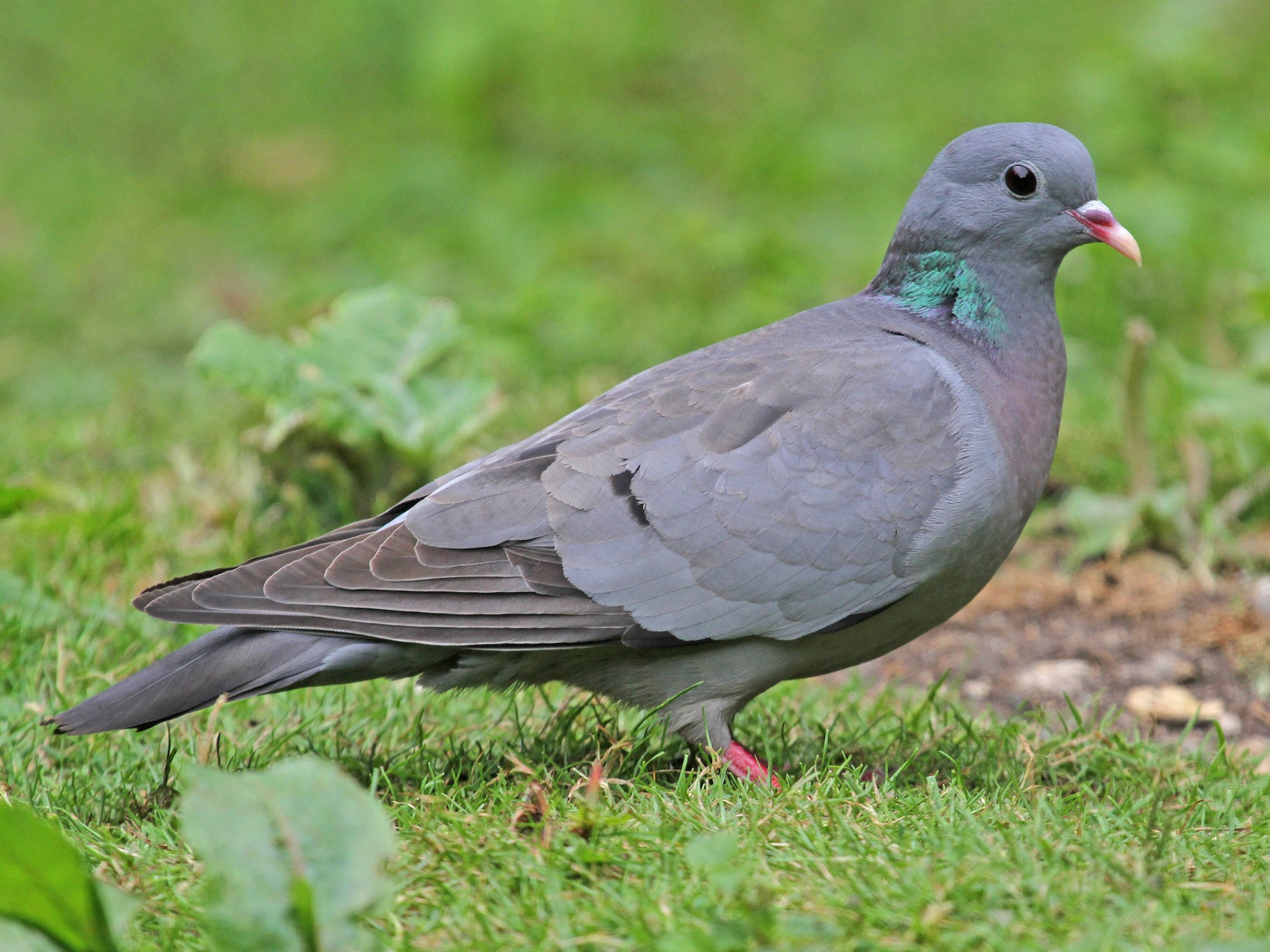 Stock Dove - Paul Lewis