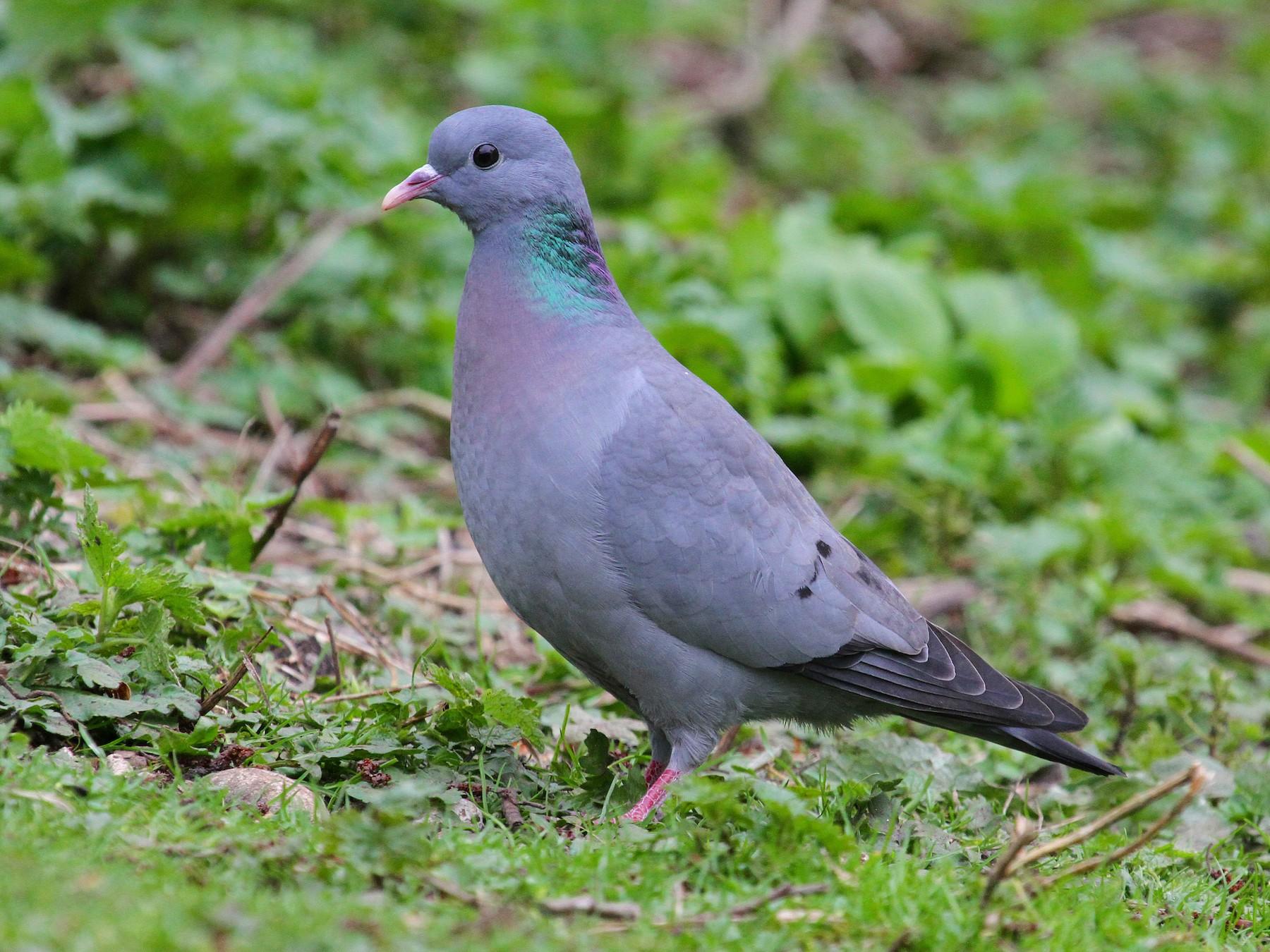 Stock Dove - Paul Lewis