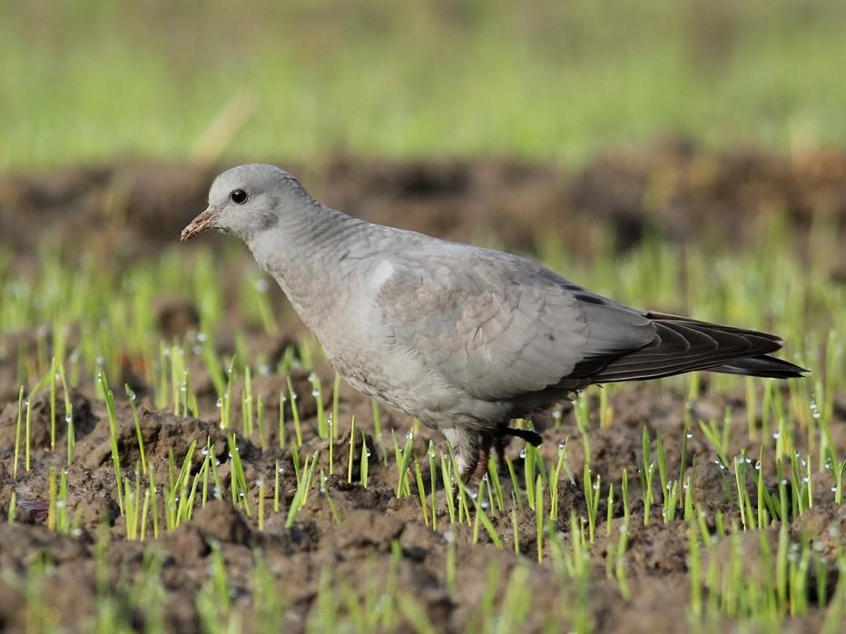 Stock Dove - Adrien Mauss