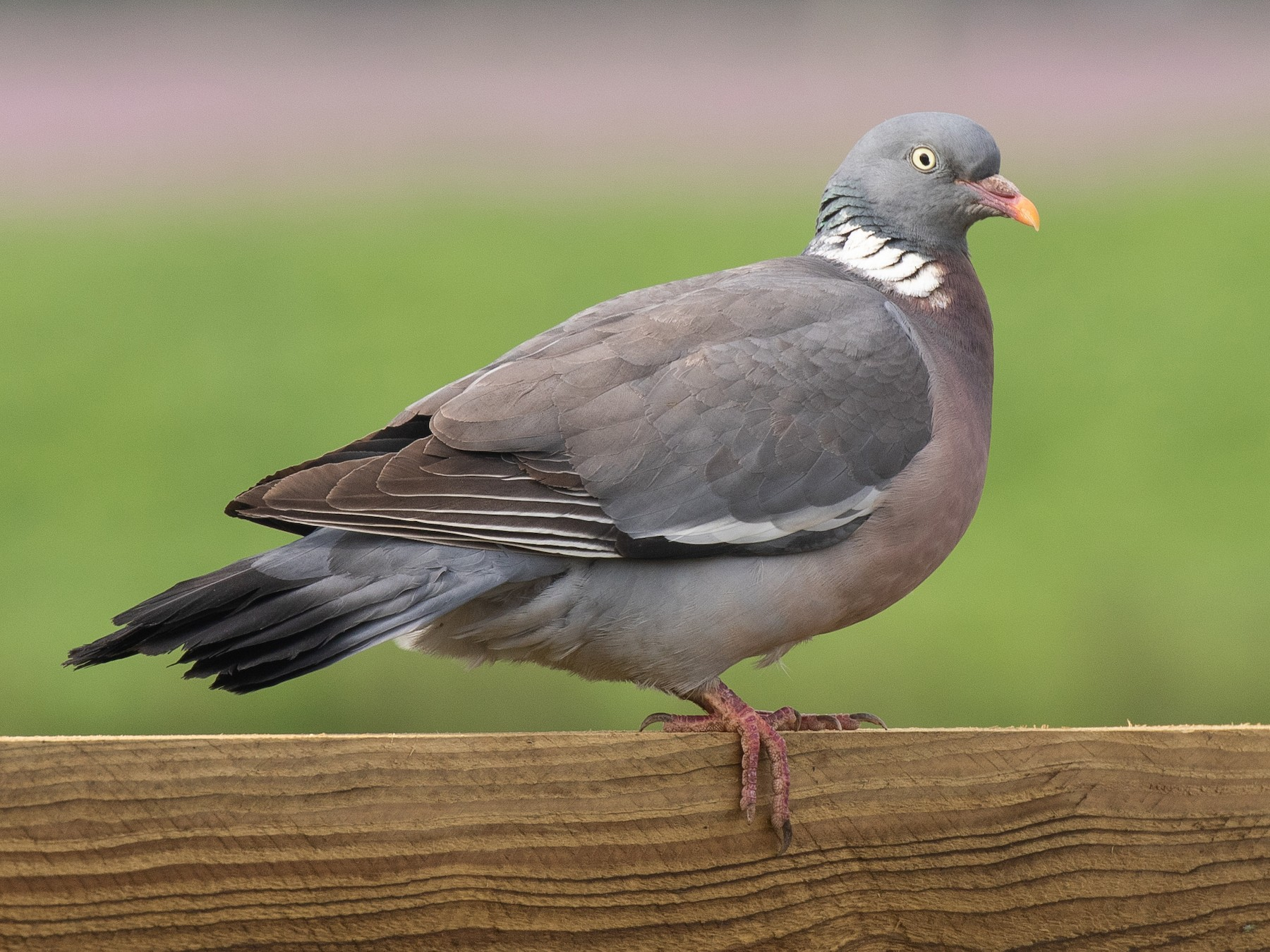Common Wood-Pigeon - James Kennerley 🦄