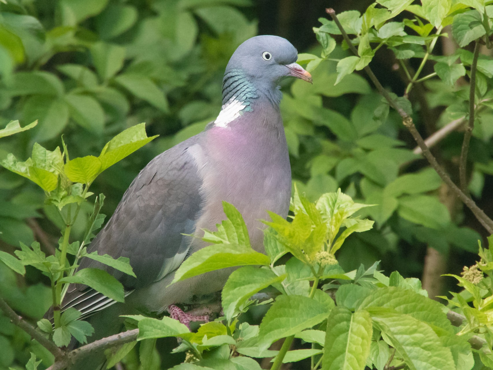 Common Wood-Pigeon - Sue&Gary Milks