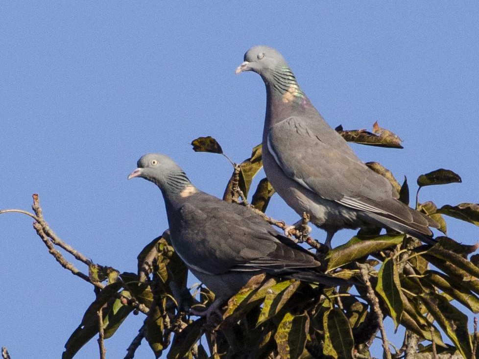 Common Wood-Pigeon - vijay kumar