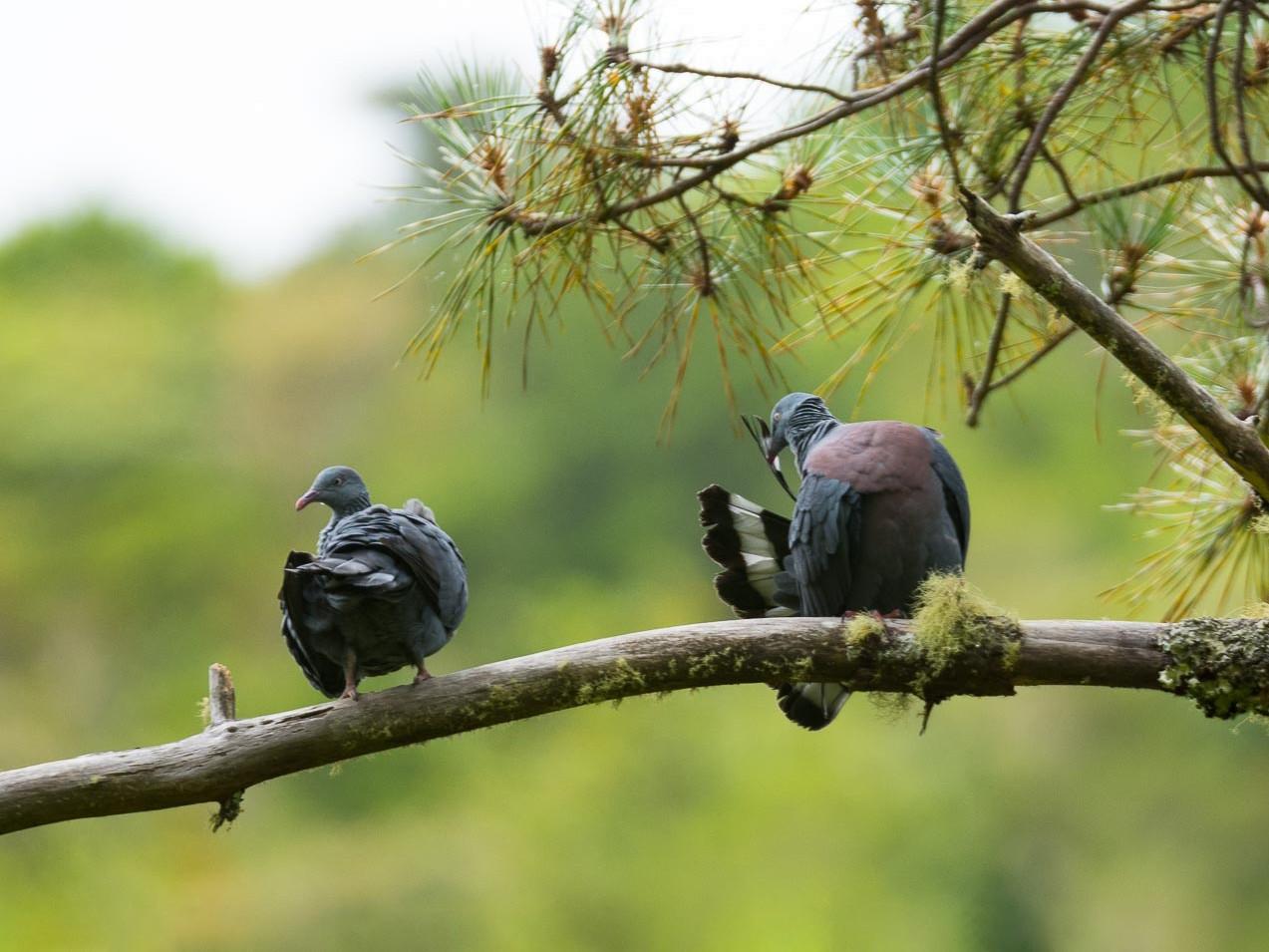 Trocaz Pigeon - Eric francois Roualet