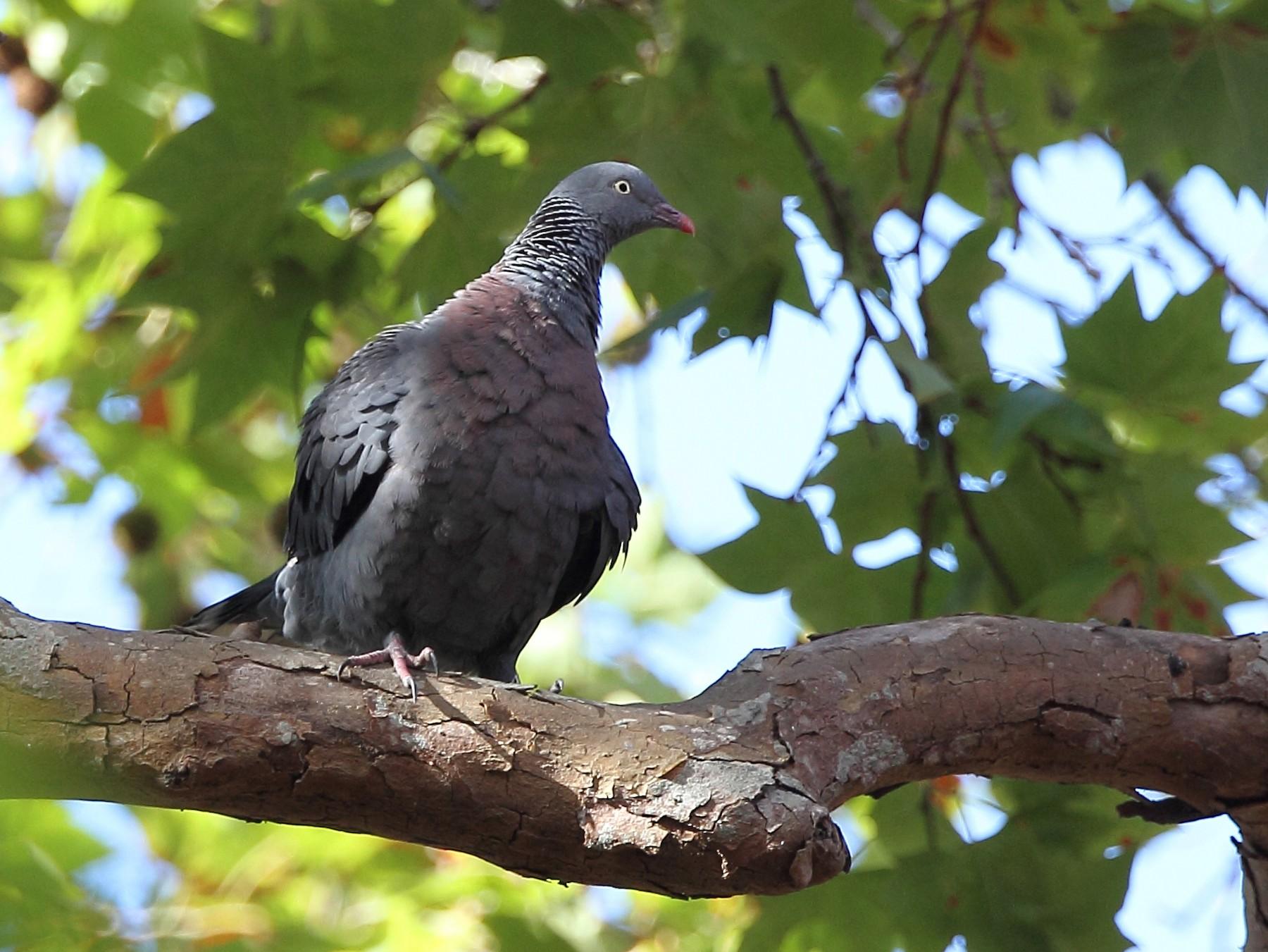 Trocaz Pigeon - Andy Butler