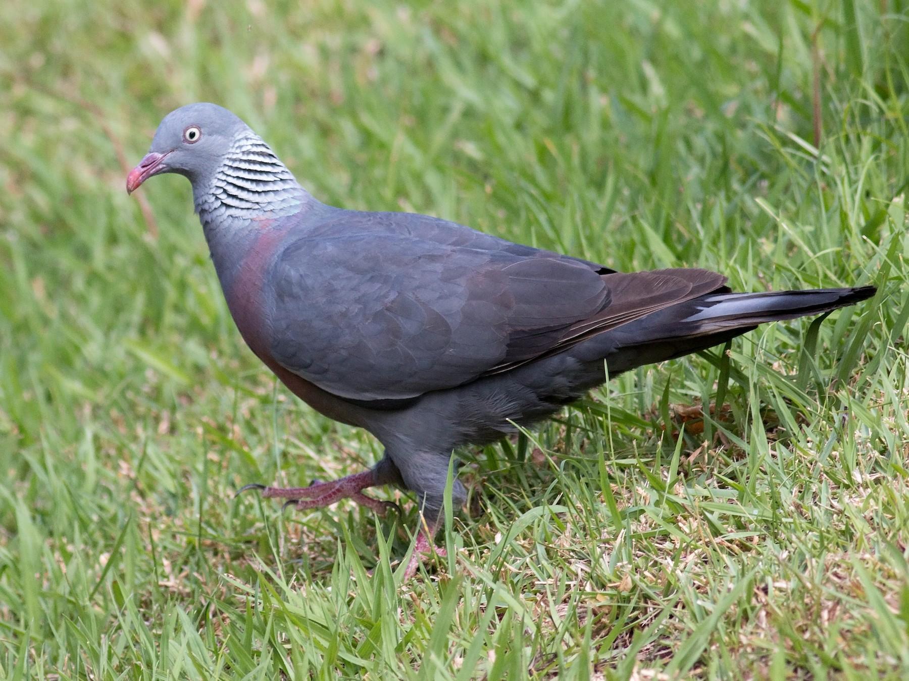 Trocaz Pigeon - Daniel Branch