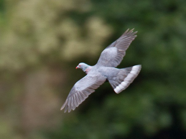 Bolle's Pigeon - Lars Petersson