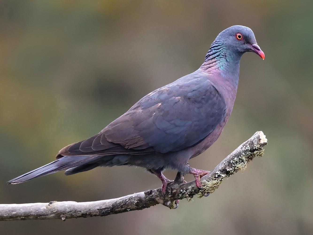 Bolle's Pigeon - Daniel Pettersson