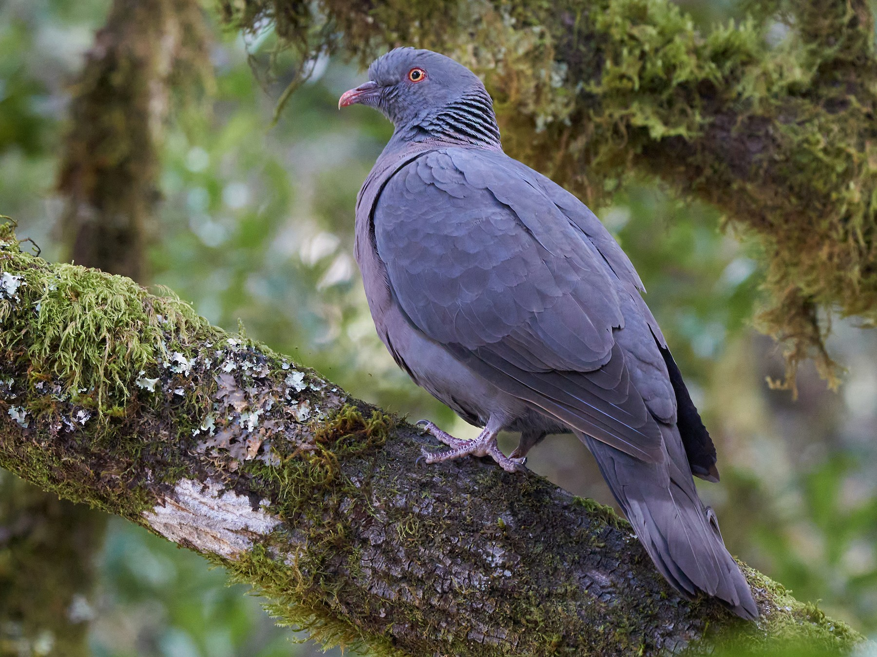 Bolle's Pigeon - Miguel Rouco
