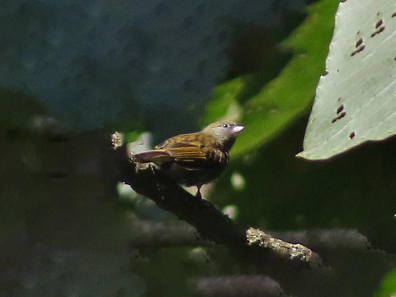 Dwarf Honeyguide - Peter Alfrey