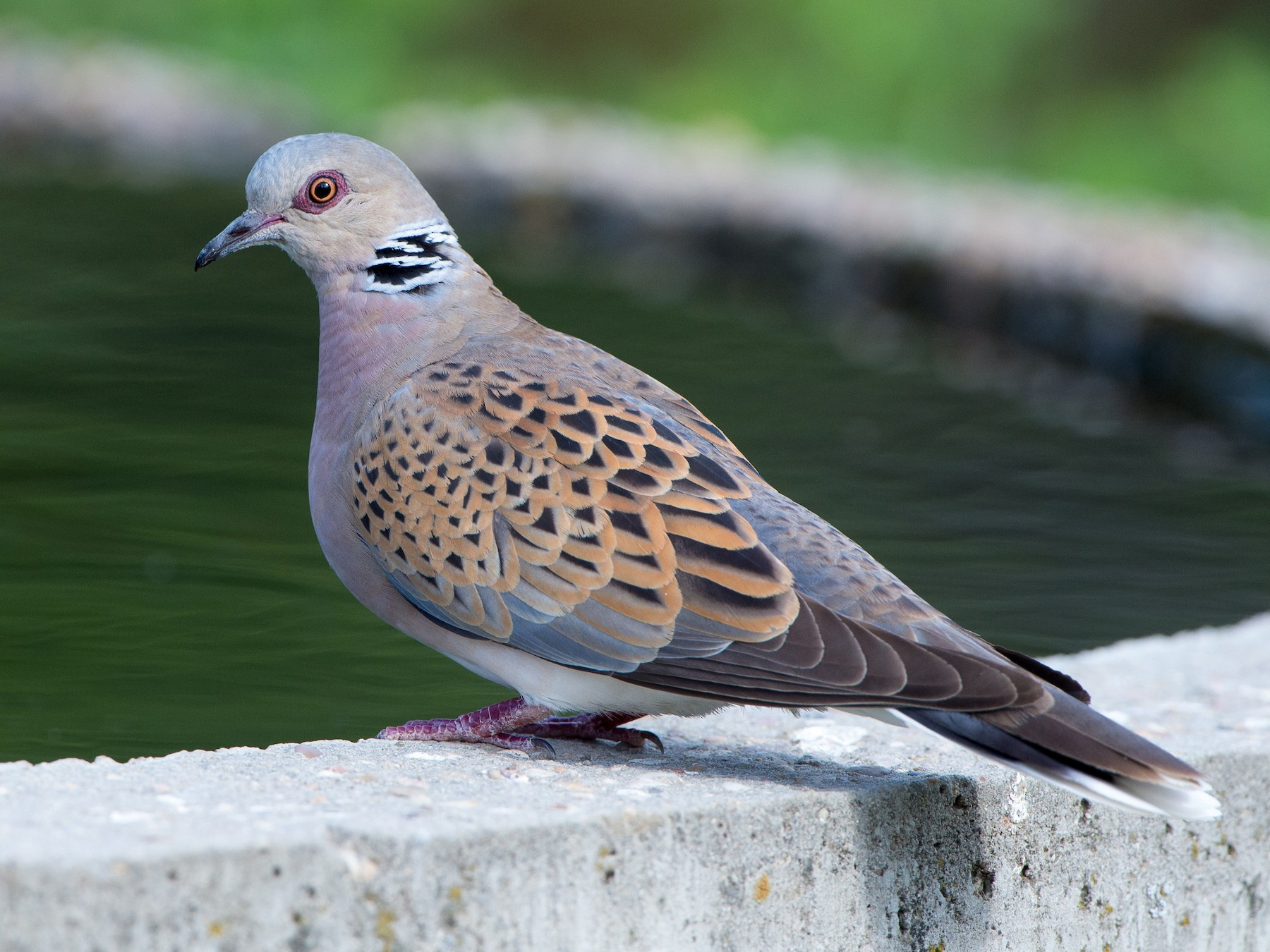 European Turtle-Dove - Marc FASOL