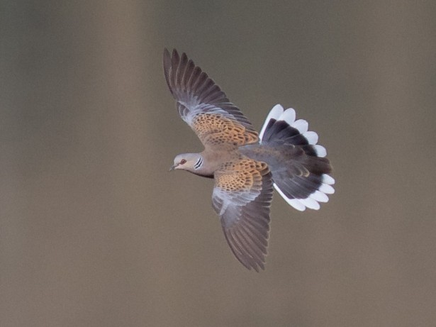 European Turtle-Dove - Luis Rodrigues