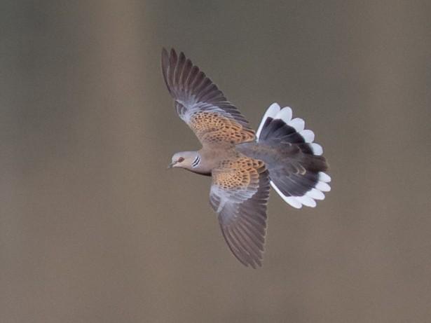 European Turtle-Dove - Luis Rodrigues