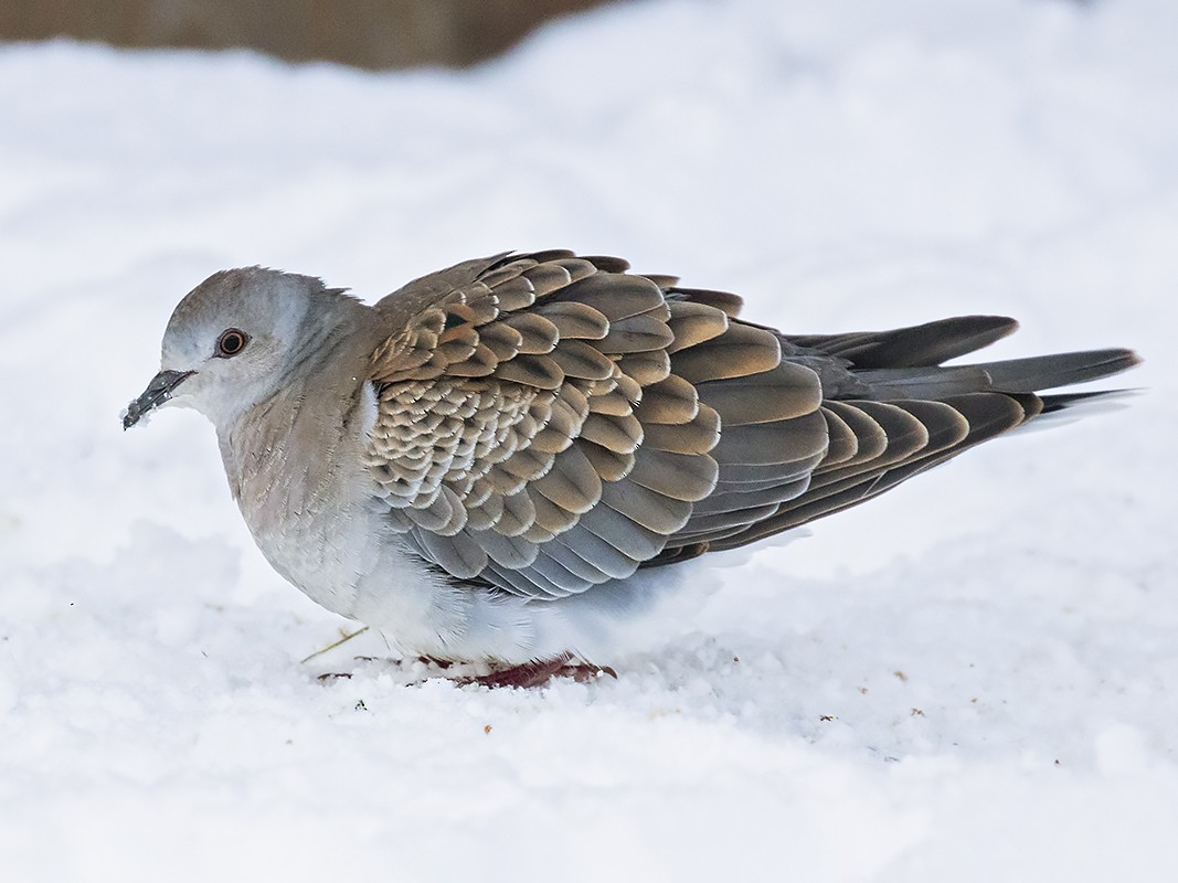 European Turtle-Dove - Yann Kolbeinsson