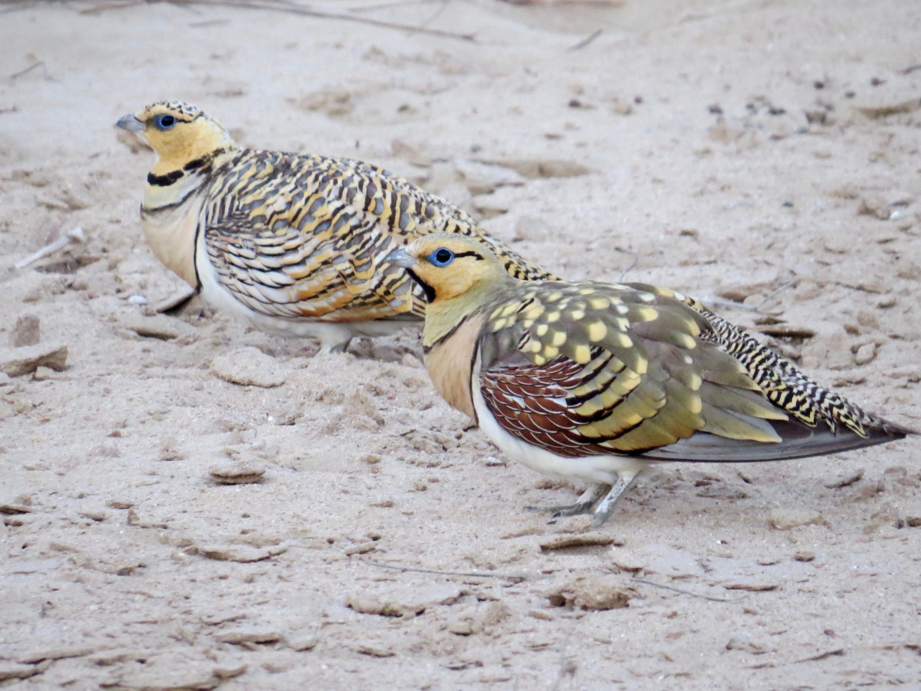 Pin-tailed Sandgrouse - Whitney Mortimer