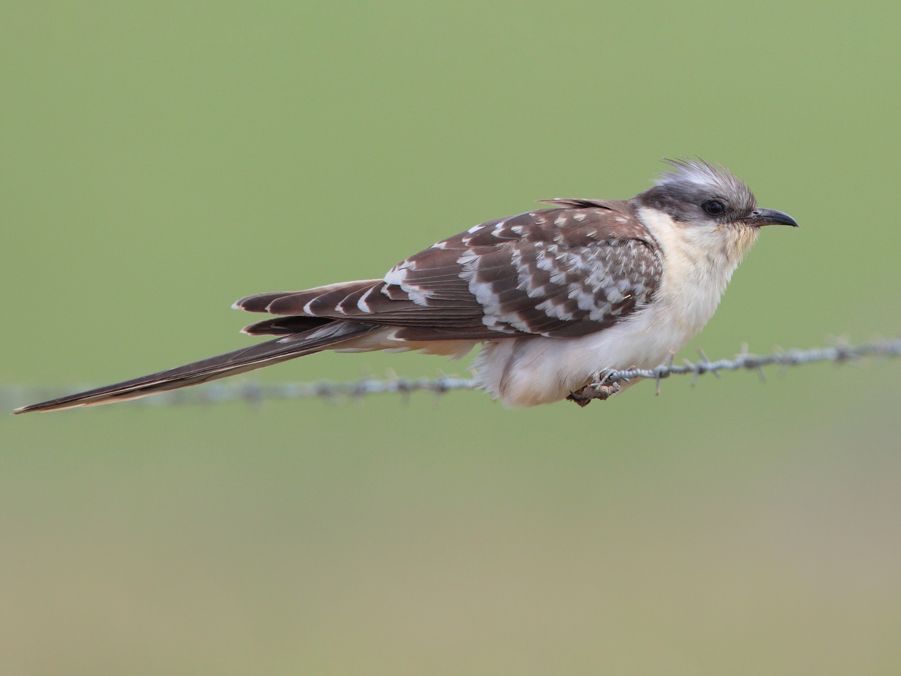 Great Spotted Cuckoo - Pedro Marques