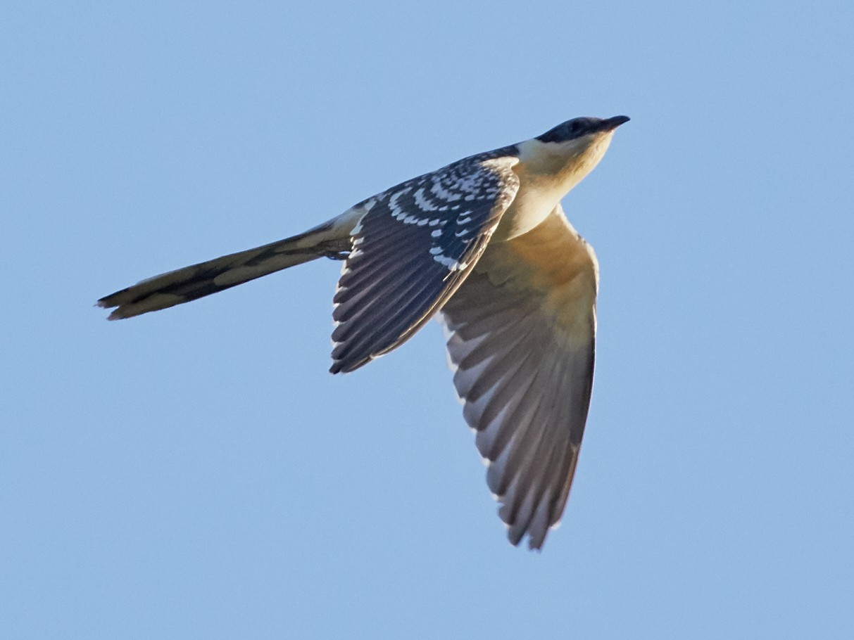 Great Spotted Cuckoo - Brooke Miller