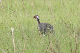 Helmeted Guineafowl, ML24220941