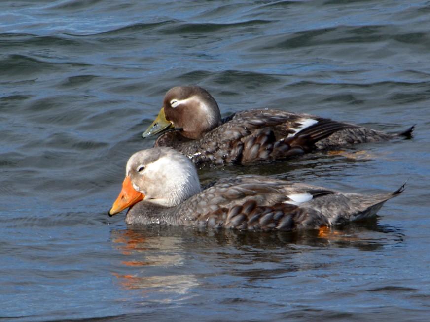 White-headed Steamer-Duck - Simon Tonge