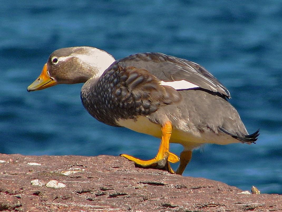 White-headed Steamer-Duck - Hugo Hulsberg