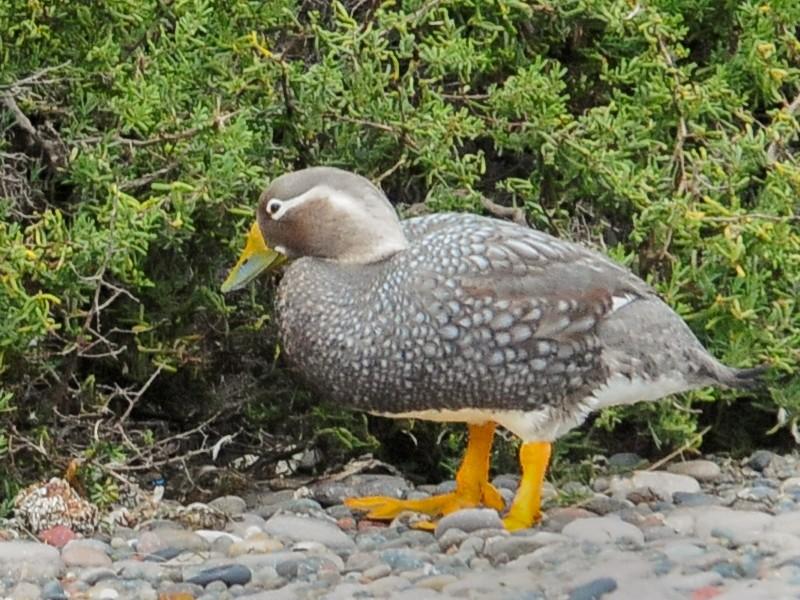 White-headed Steamer-Duck - Kurt Hennige