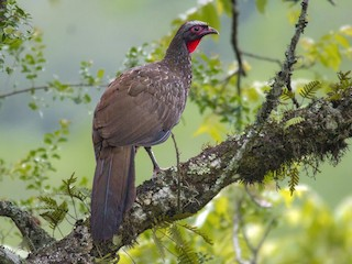 - Red-faced Guan