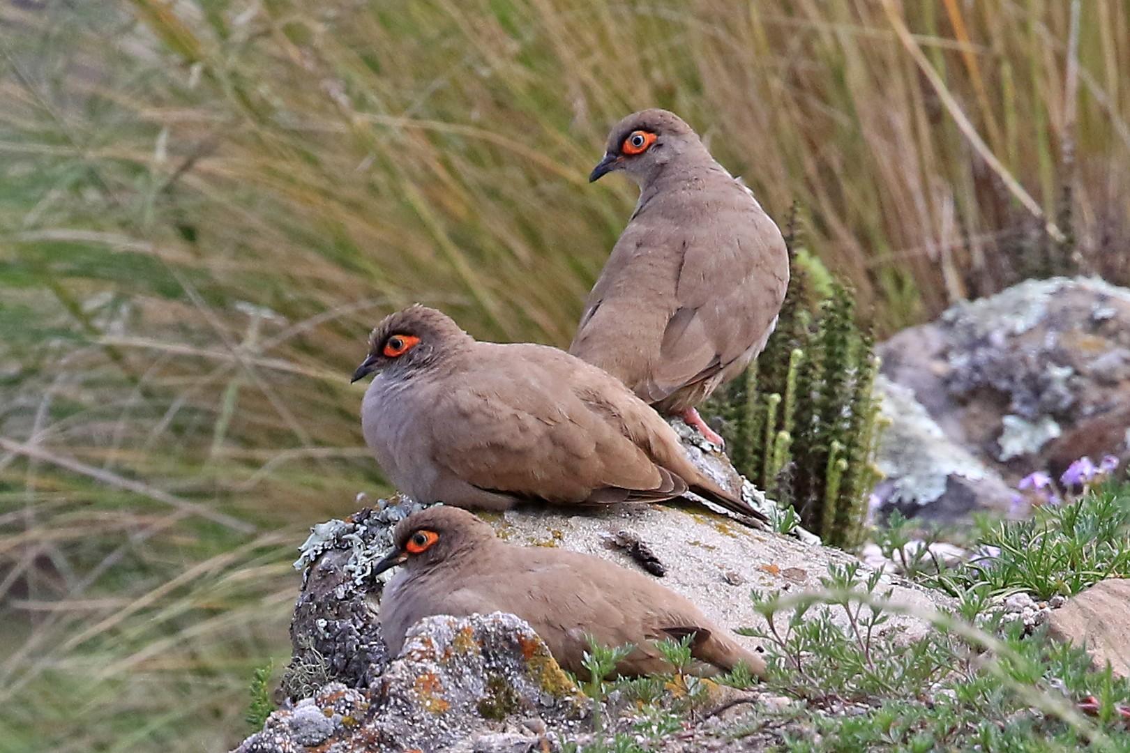 Bare-eyed Ground Dove - Phillip Edwards