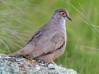 - Bare-eyed Ground Dove