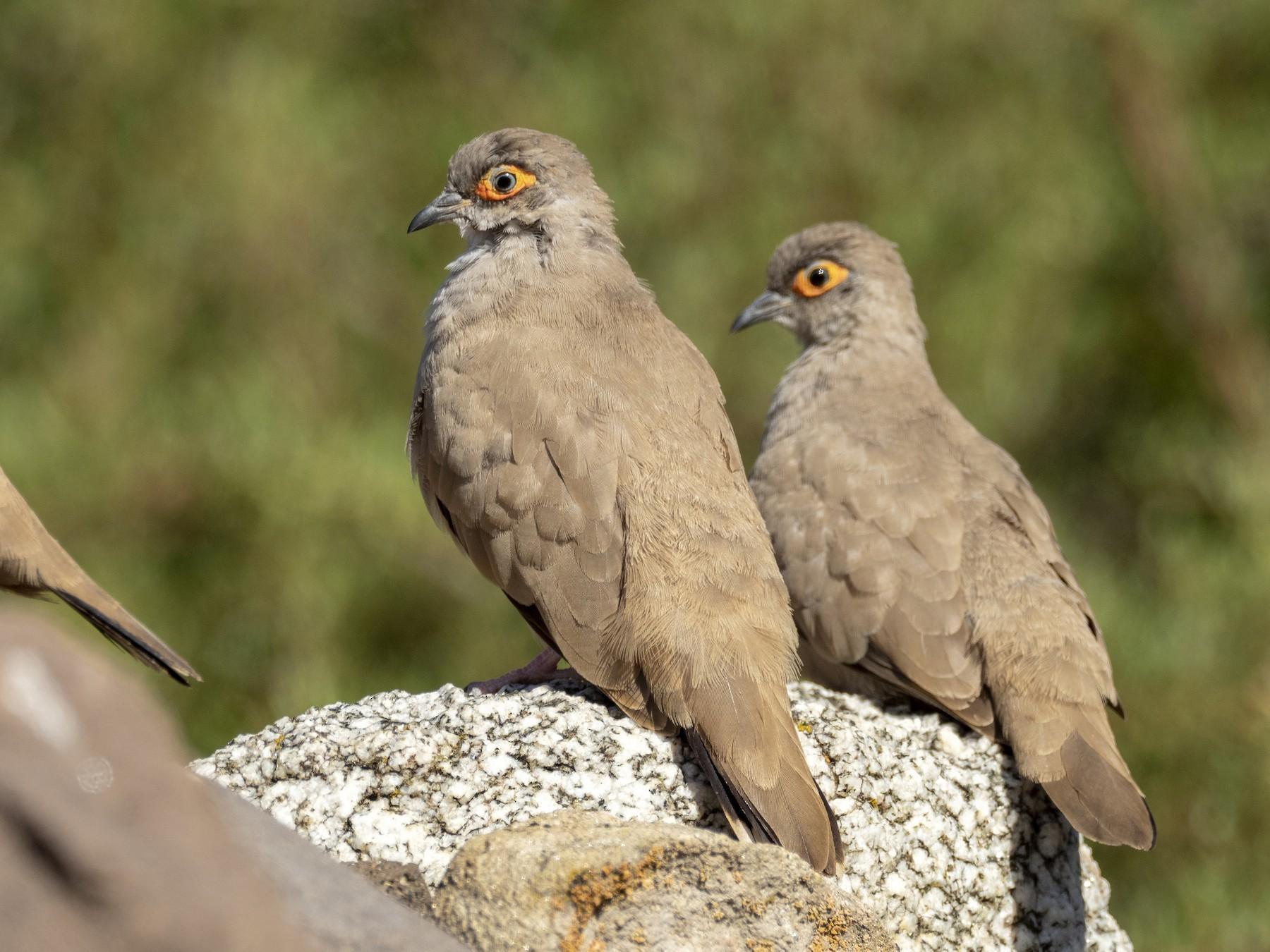 Bare-eyed Ground Dove - Andres Vasquez Noboa - Tropical Birding Tours