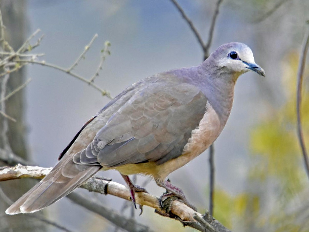 Large-tailed Dove - Tini & Jacob Wijpkema