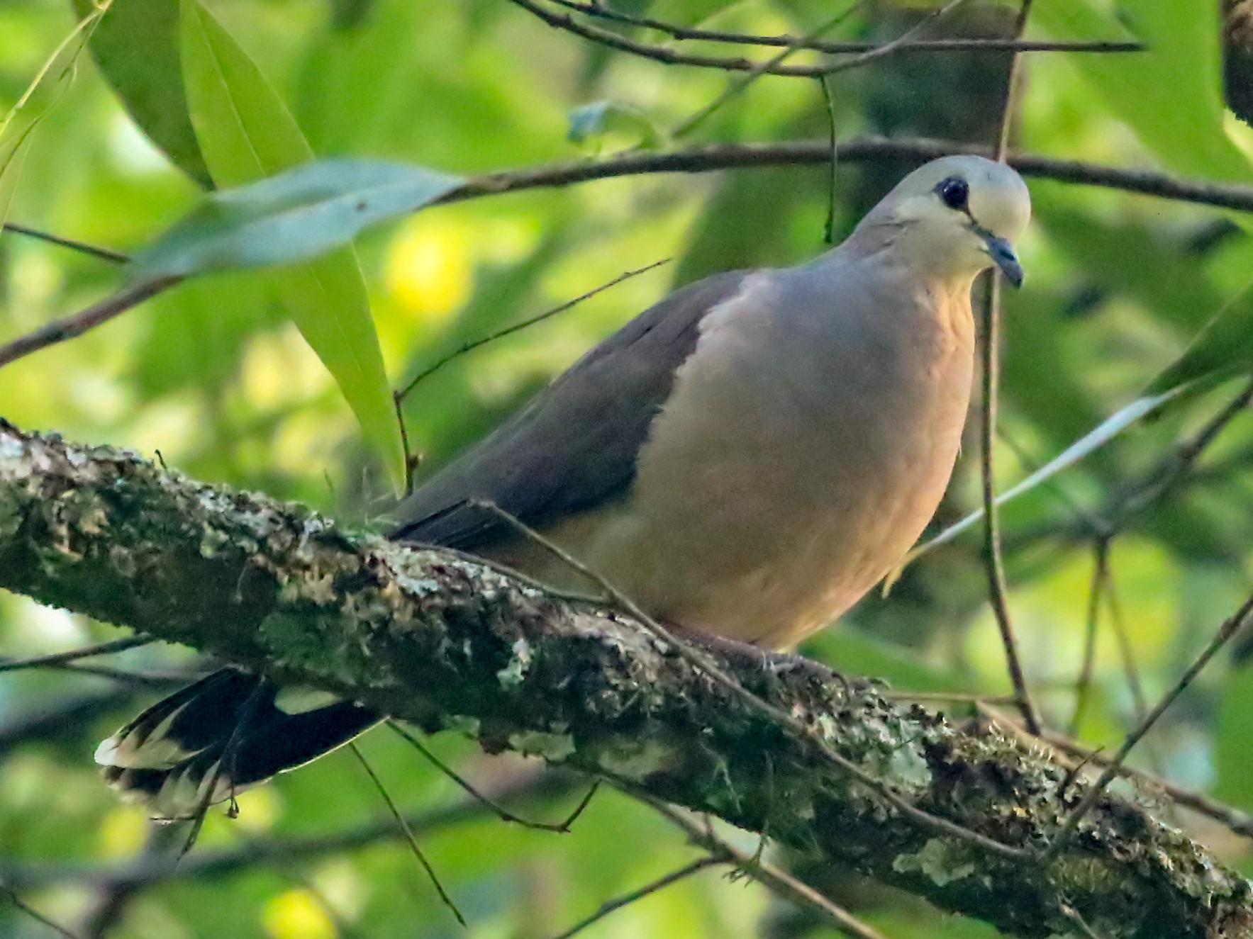 Large-tailed Dove - Phillip Edwards
