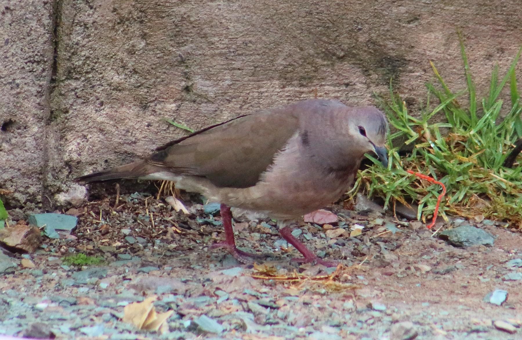 Large-tailed Dove - Gabriel Carbajales