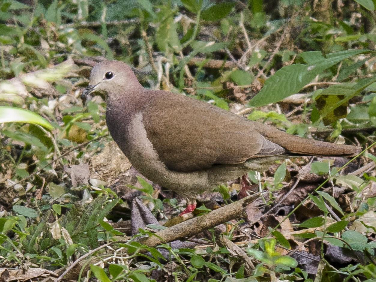 Large-tailed Dove - Ignacio Zapata