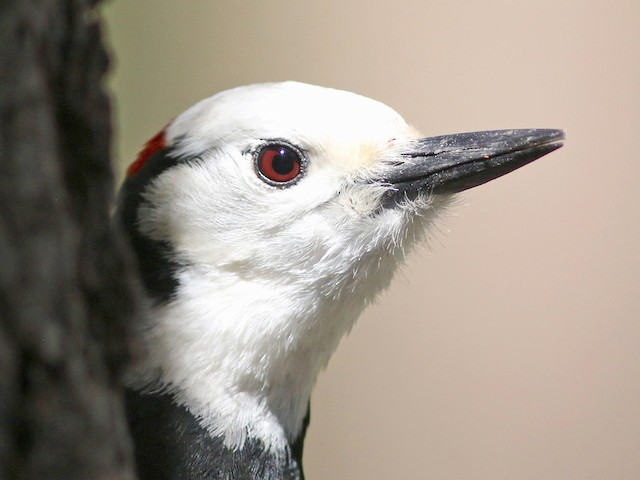 Portrait of adult White-headed Woodpecker showing red iris.