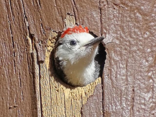 Portrait of juvenile White-headed Woodpecker showing brownish iris.