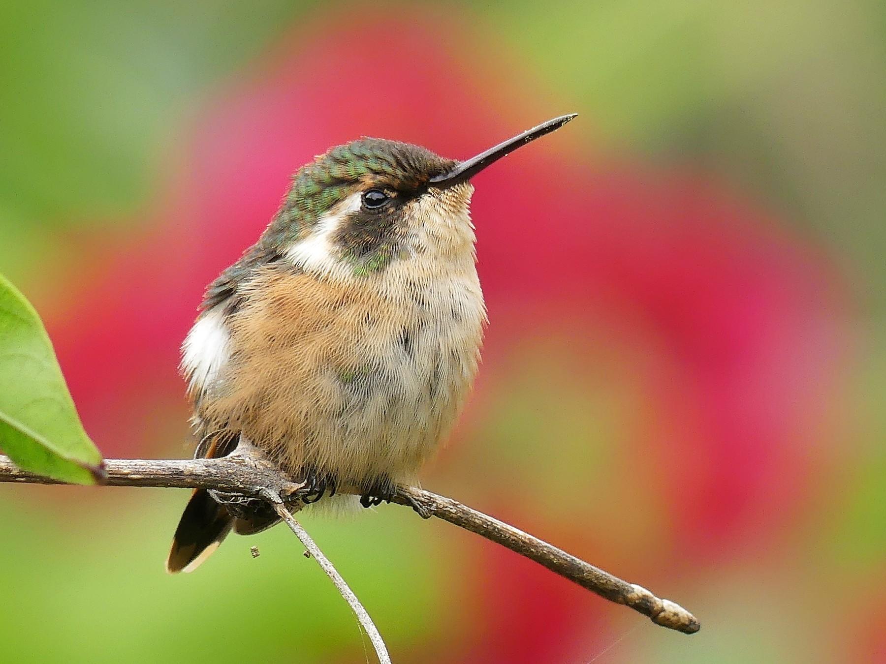 Slender-tailed Woodstar - Jorge  Quiroga