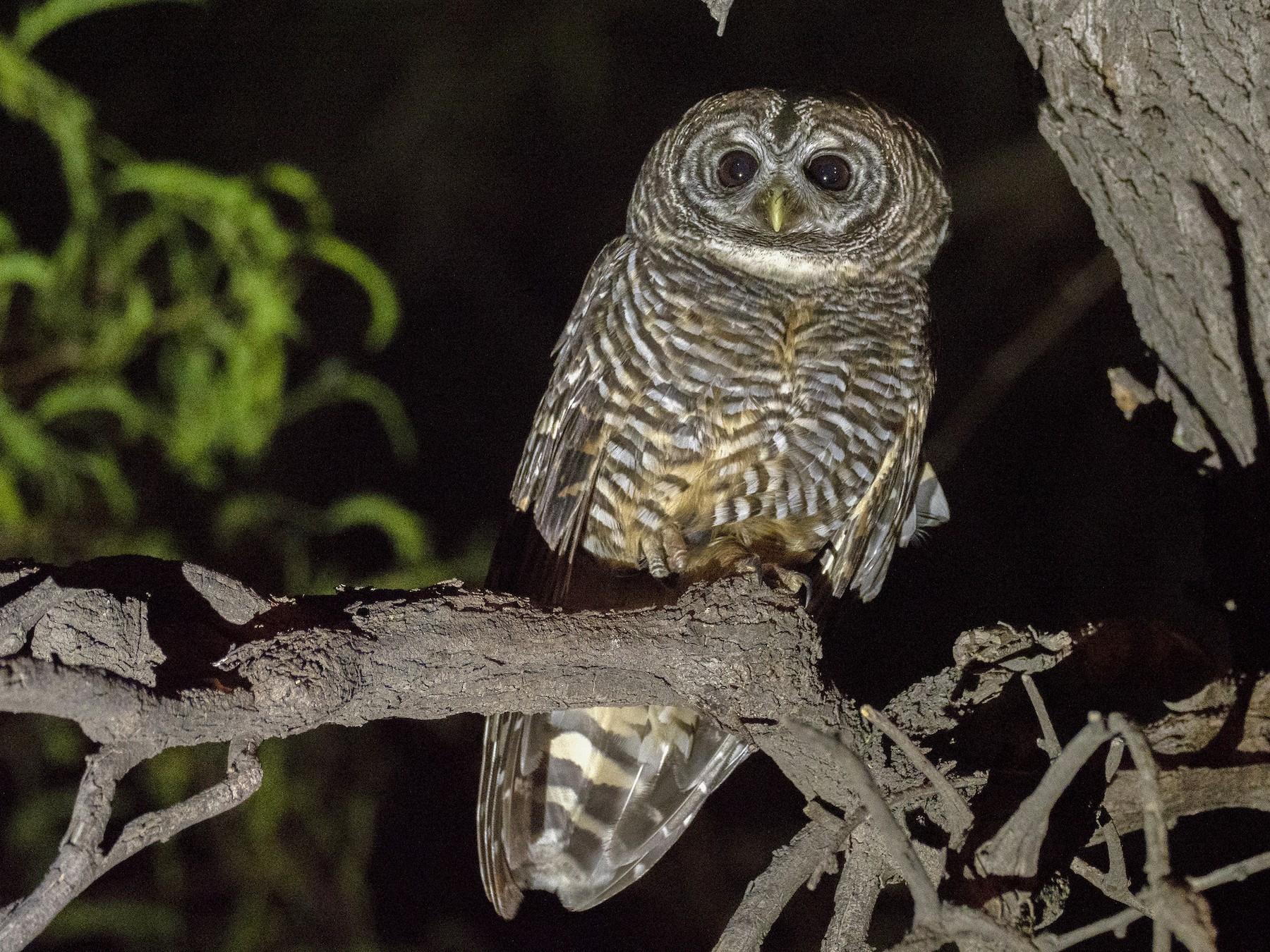Chaco Owl - Andres Vasquez