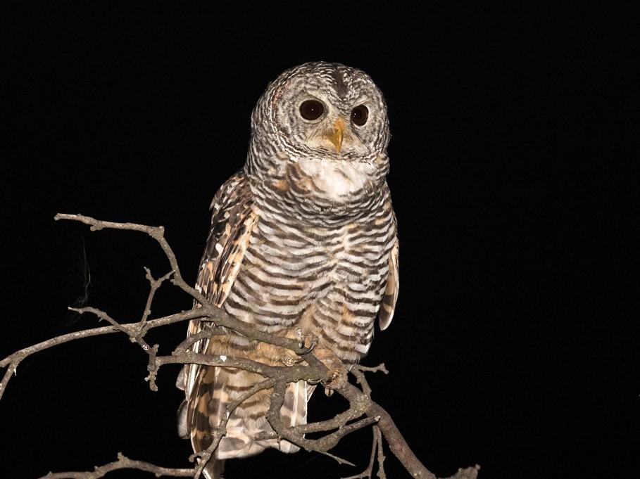 Chaco Owl - Carlos Cuñado Strelkov