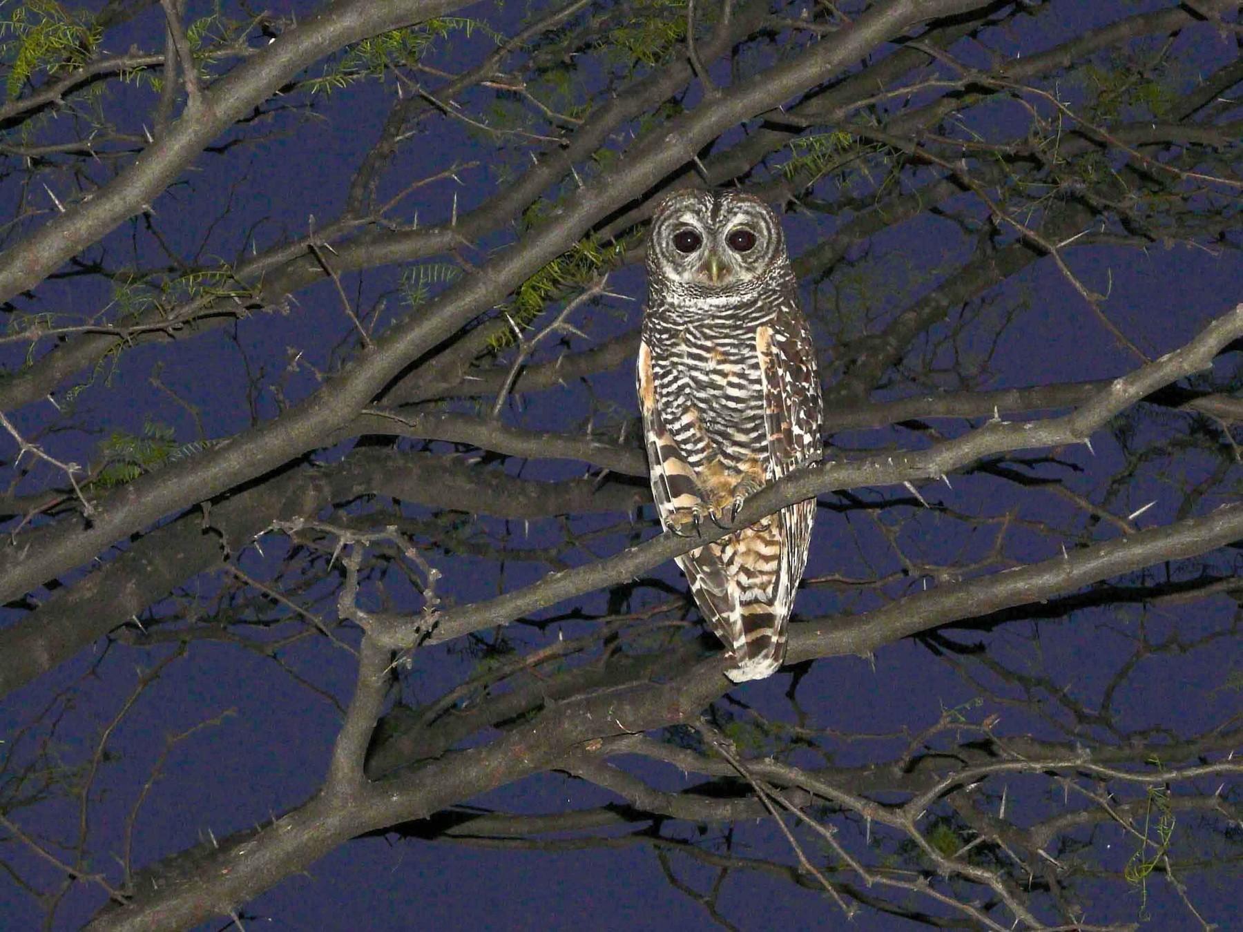 Chaco Owl - Agustín Zarco