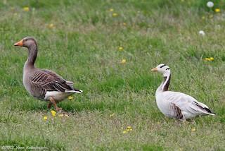 Bar-headed Goose, ML24253121