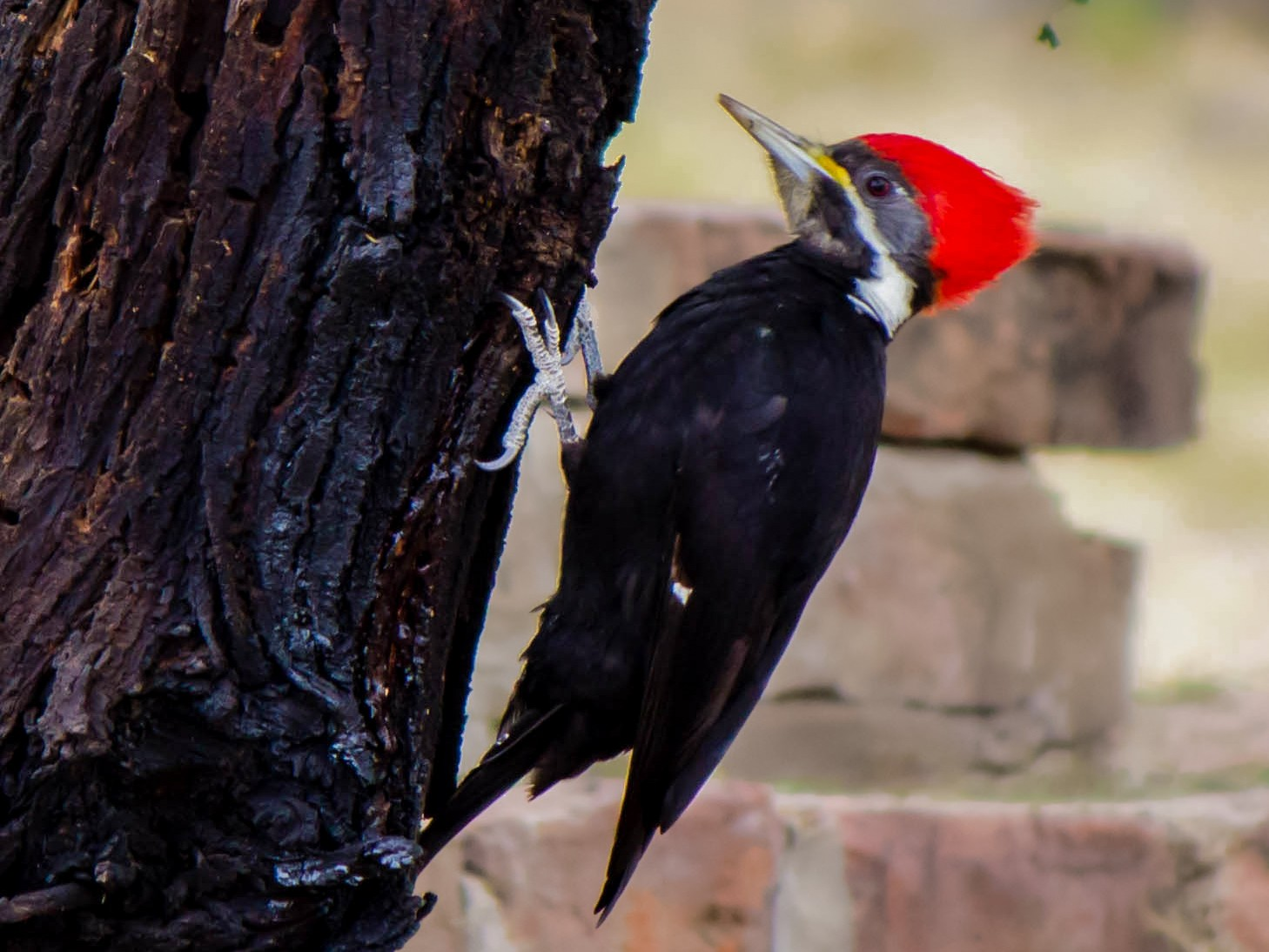 Black-bodied Woodpecker - Hernán Rojo