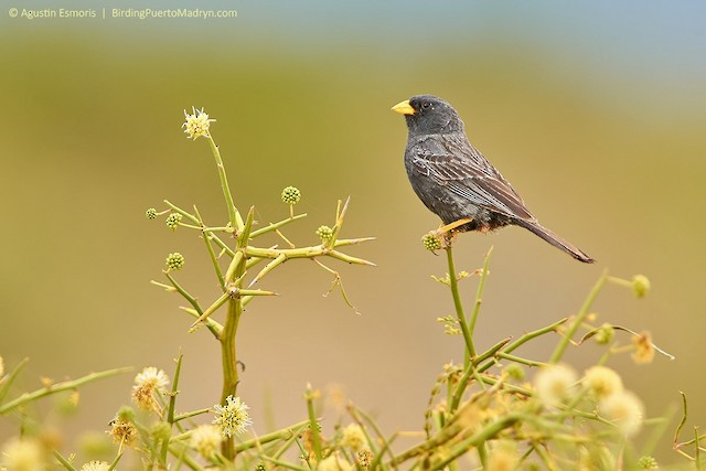 Carbonated Sierra-Finch