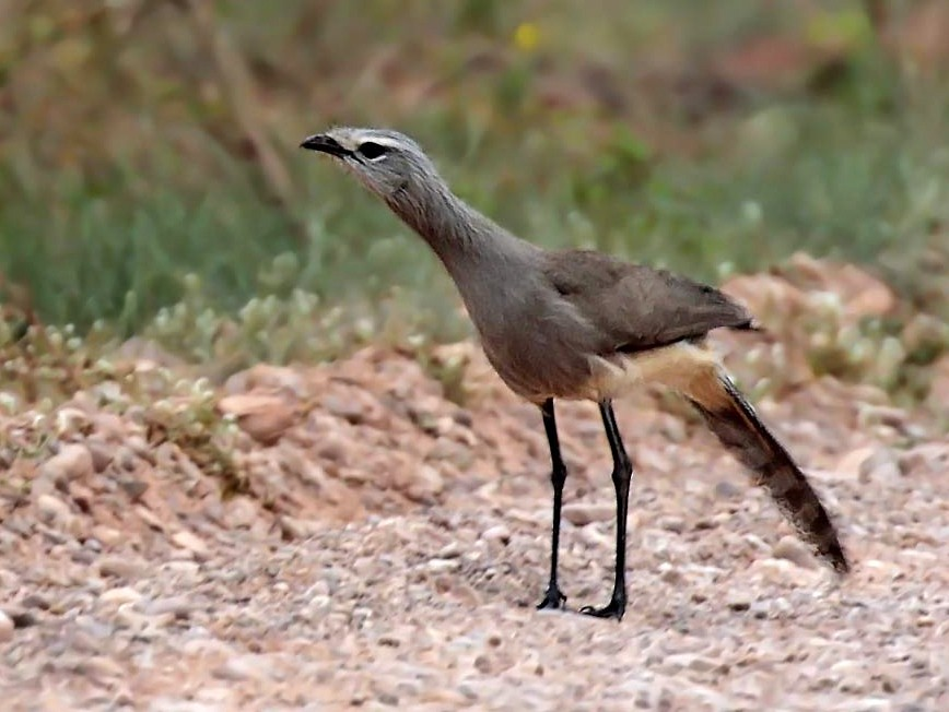 Black-legged Seriema - Alec Earnshaw