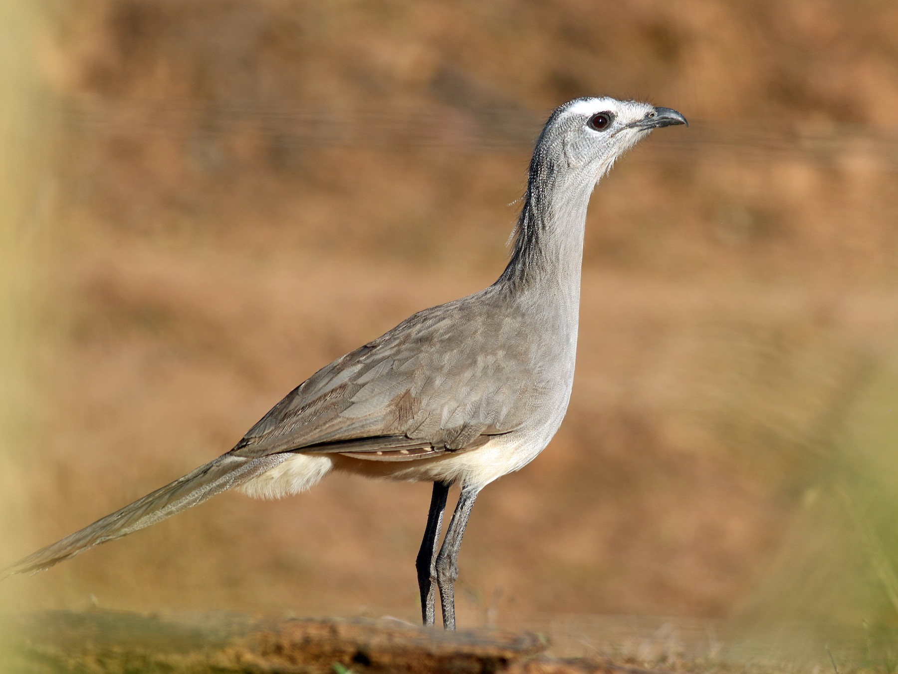 Black-legged Seriema - Steve Walker