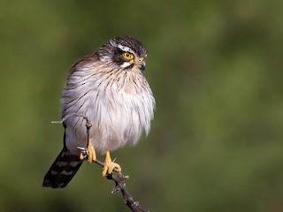 - Spot-winged Falconet